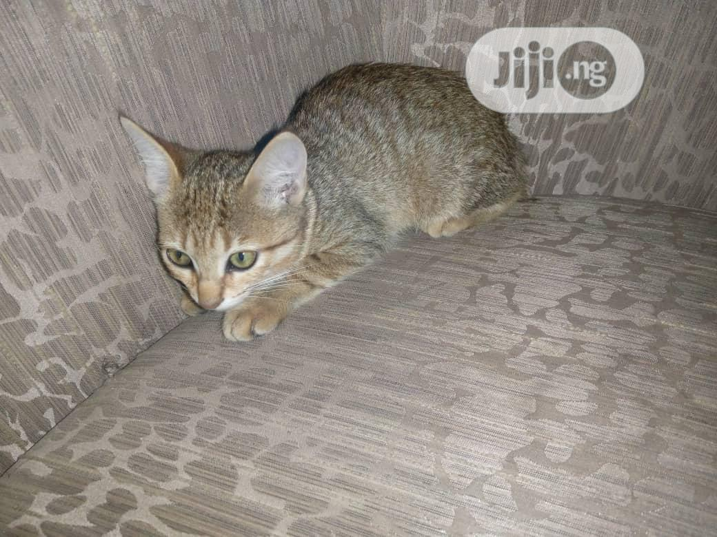 Baby Male Purebred Siberian | Cats & Kittens for sale in Alimosho, Lagos State, Nigeria