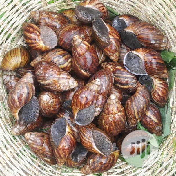 AA Edible Snail For Rearing