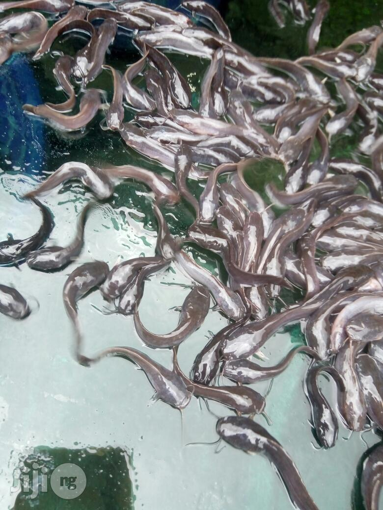 Fingerlings And Juveniles | Livestock & Poultry for sale in Ijebu Ode, Ogun State, Nigeria
