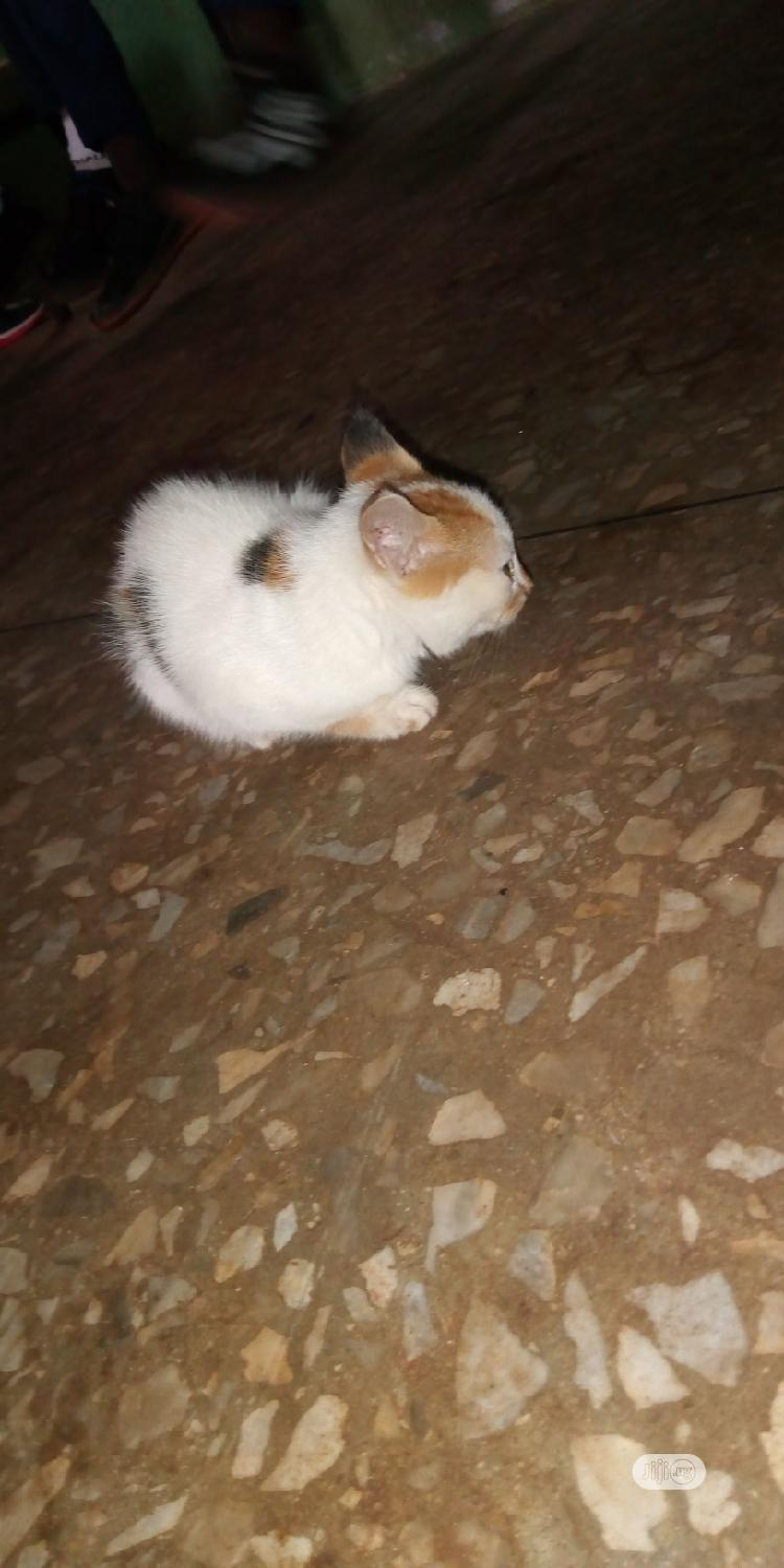 Young Female Mixed Breed Cat