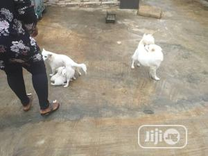 Young Female Purebred American Eskimo   Dogs & Puppies for sale in Delta State, Udu