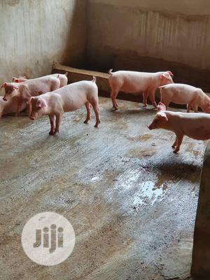 Landrace Weaners (Pure)   Livestock & Poultry for sale in Abuja (FCT) State, Bwari