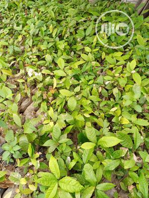 Hybrid Cocoa Seedlings | Feeds, Supplements & Seeds for sale in Ogun State, Odeda