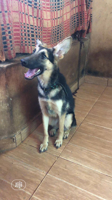 Young Female Purebred German Shepherd | Dogs & Puppies for sale in Ilesa, Osun State, Nigeria
