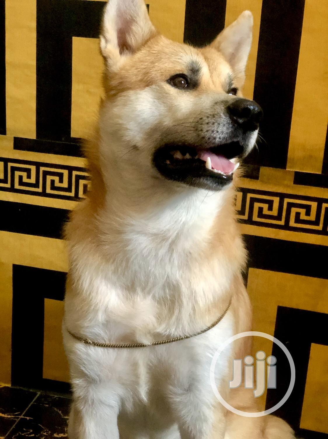 Adult Male Purebred Akita | Dogs & Puppies for sale in Ikeja, Lagos State, Nigeria