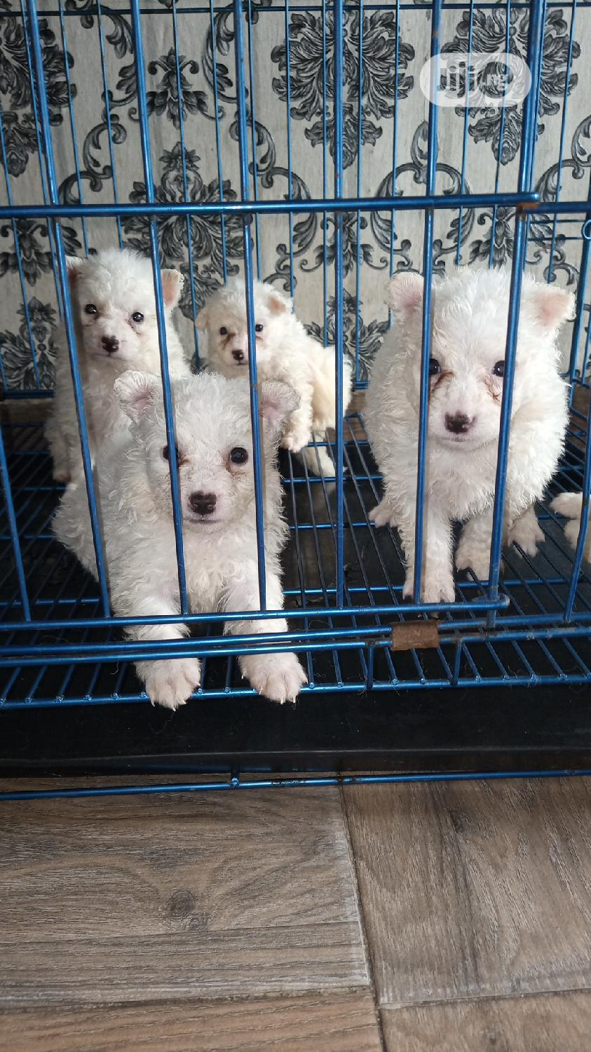 Baby Male Purebred American Eskimo | Dogs & Puppies for sale in Lekki, Lagos State, Nigeria