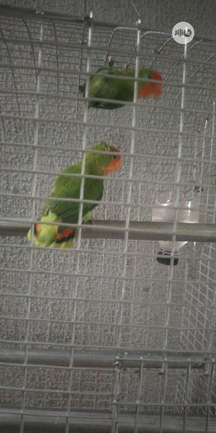 Parrots For Sale @ Afaulks Farms. | Birds for sale in Ikorodu, Lagos State, Nigeria