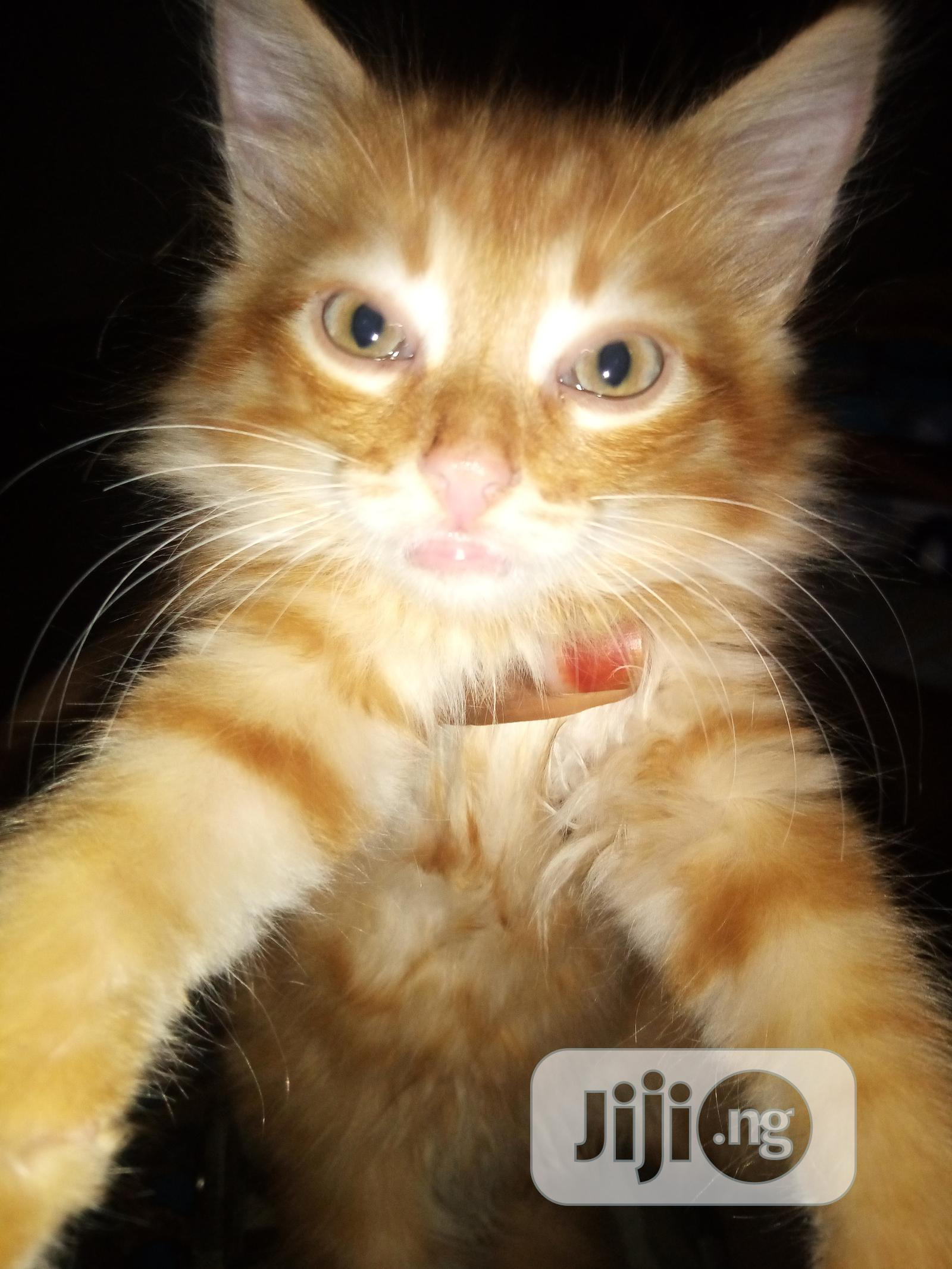 Young Male Mixed Breed American Bobtail | Cats & Kittens for sale in Wuse 2, Abuja (FCT) State, Nigeria