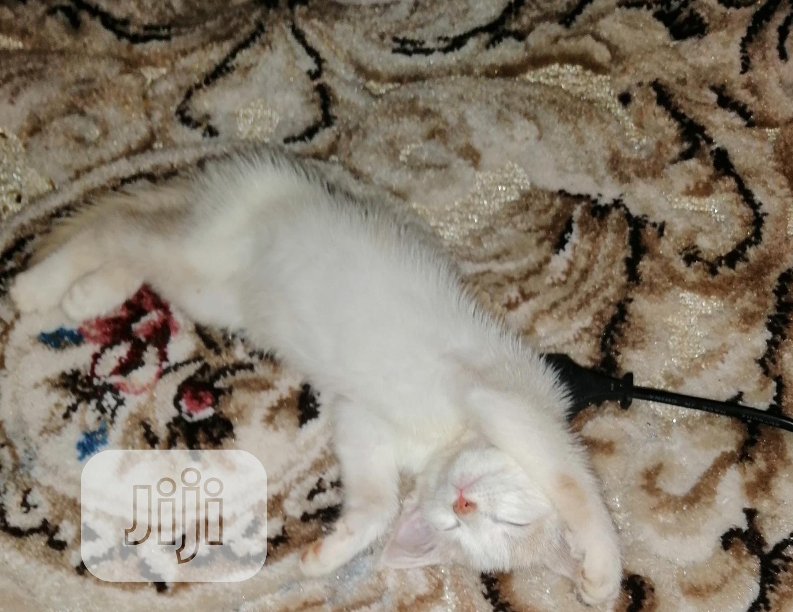 Baby Female Purebred Turkish Angora   Cats & Kittens for sale in Kaduna, Kaduna State, Nigeria