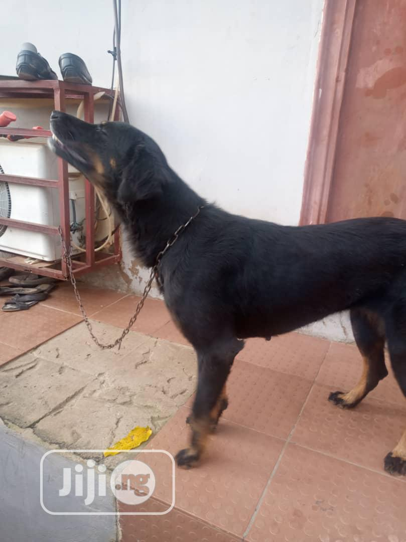 Archive: Young Female Mixed Breed Rottweiler