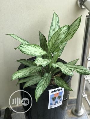 Natural Plants Outdoor And Indoor Plants | Garden for sale in Lagos State