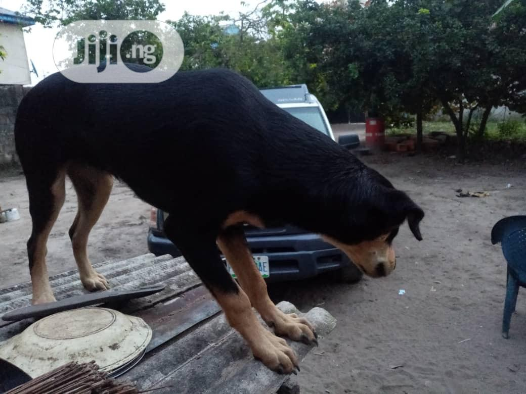 Young Female Purebred Doberman Pinscher | Dogs & Puppies for sale in Ojo, Lagos State, Nigeria