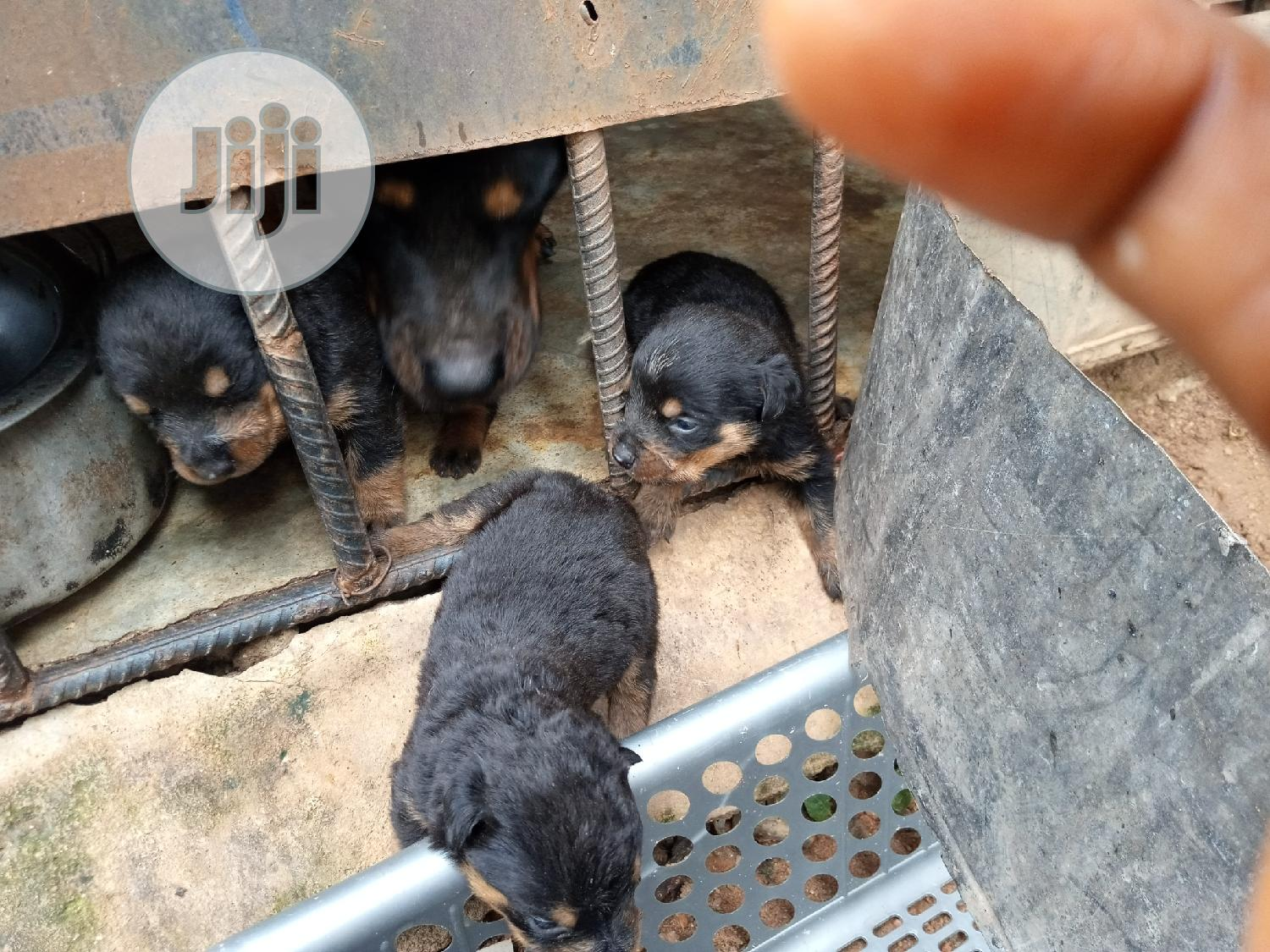 Baby Male Purebred Rottweiler | Dogs & Puppies for sale in Wuse 2, Abuja (FCT) State, Nigeria