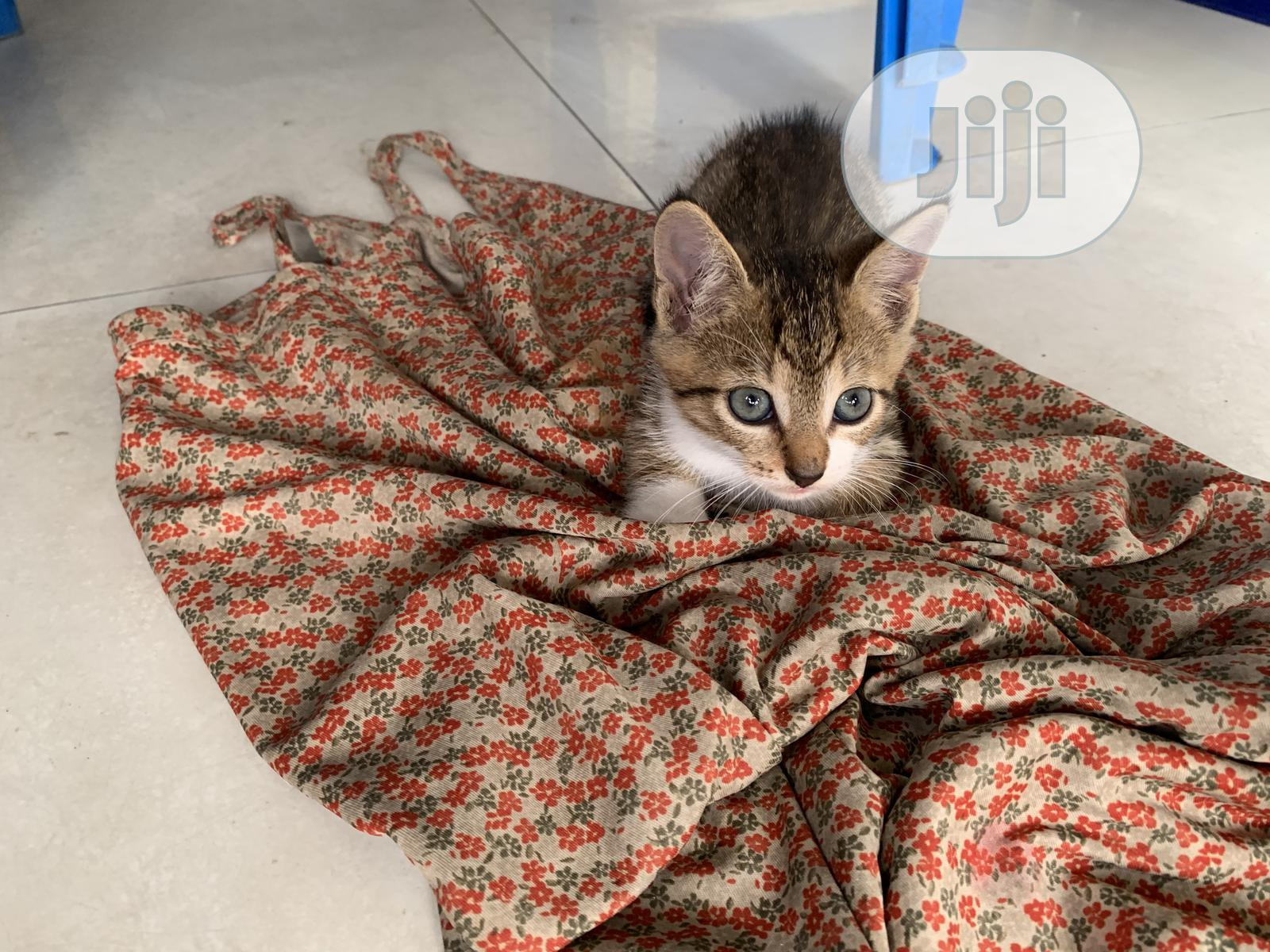 1-3 Month Male Purebred American Wirehair | Cats & Kittens for sale in Port-Harcourt, Rivers State, Nigeria