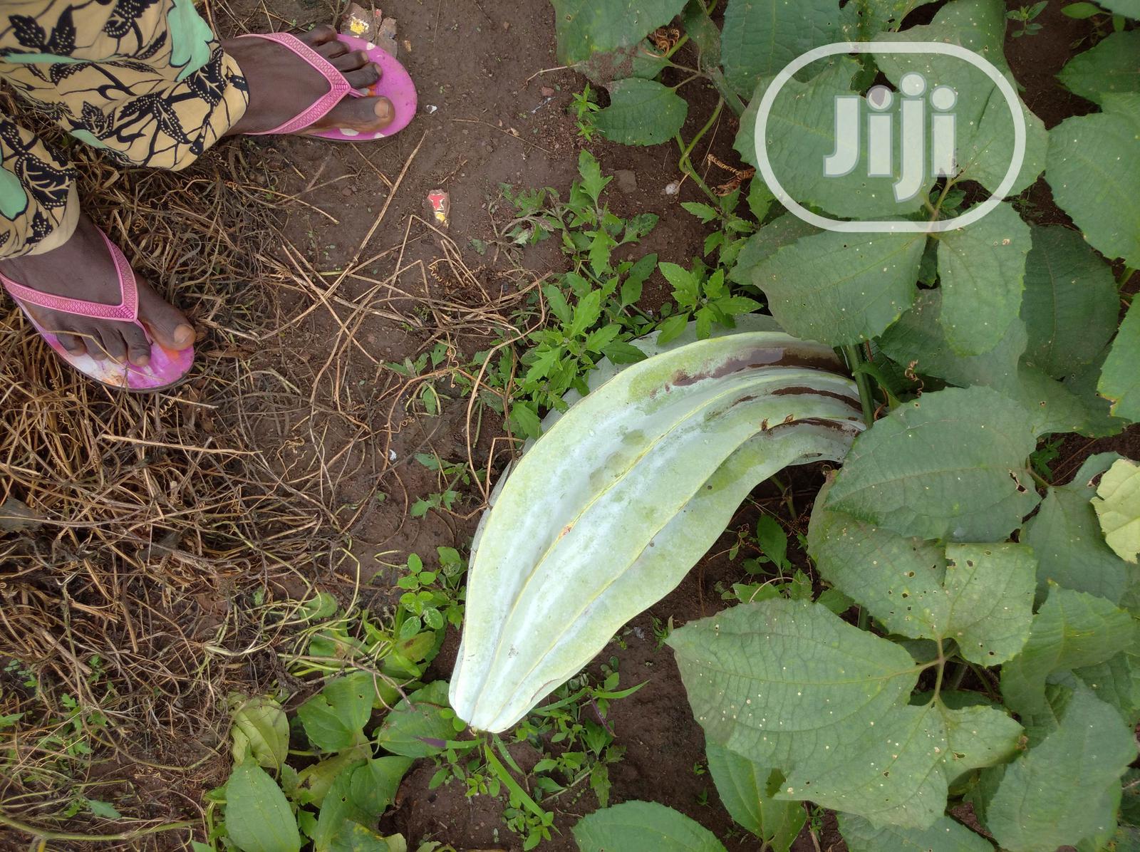 Archive: Ugu Seeds (Fluted Pumpkin) for Sale