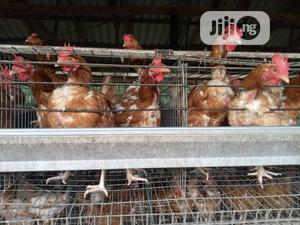 Point of Lay | Livestock & Poultry for sale in Oyo State, Ibadan