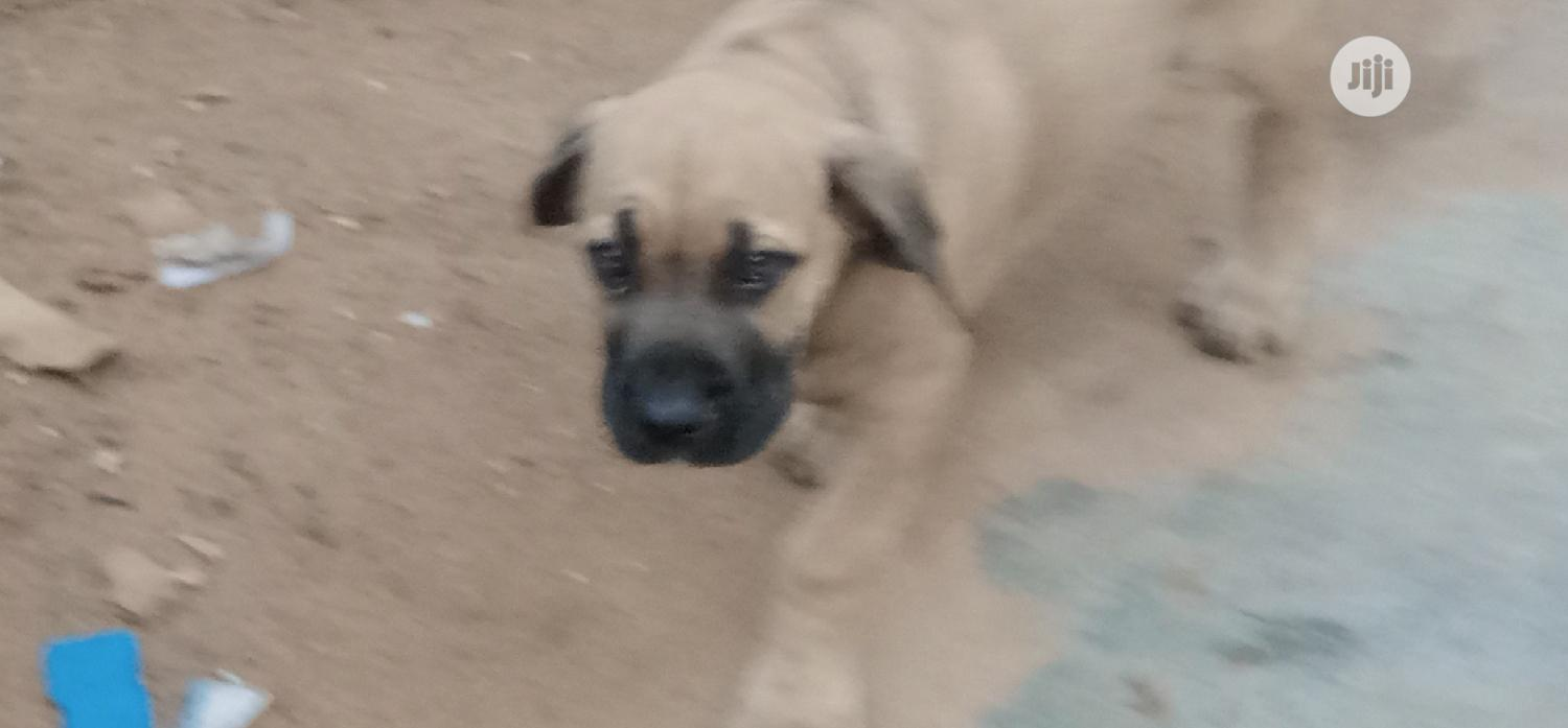 Baby Male Purebred Boerboel | Dogs & Puppies for sale in Ikotun/Igando, Lagos State, Nigeria
