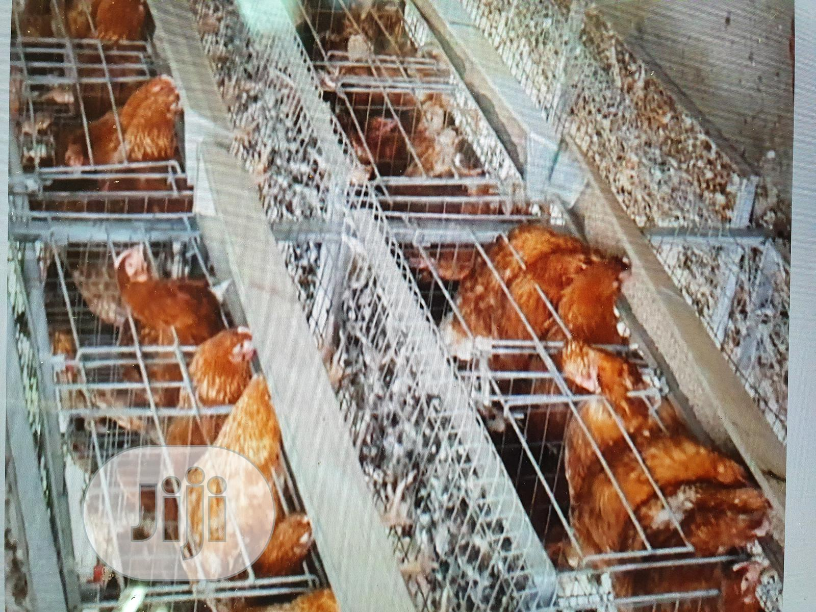 ISA Brown, Point of Lay (POL) Layer Birds | Livestock & Poultry for sale in Bwari, Abuja (FCT) State, Nigeria