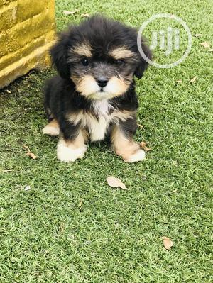 Baby Male Purebred Lhasa Apso   Dogs & Puppies for sale in Lagos State, Alimosho