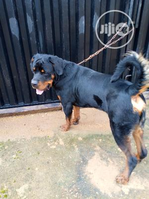 1+ Year Male Purebred Rottweiler   Dogs & Puppies for sale in Oyo State, Oluyole