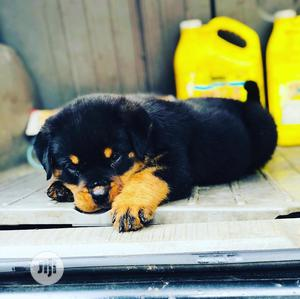 Young Female Purebred Rottweiler   Dogs & Puppies for sale in Lagos State, Maryland