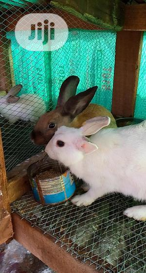 GOE Animals - Good And Healthy Rabbits For Sale   Livestock & Poultry for sale in Ondo State, Akure