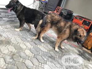 Baby Male Purebred Caucasian Shepherd | Dogs & Puppies for sale in Lagos State, Ajah