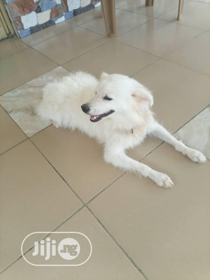 Archive: Adult Female Purebred American Eskimo