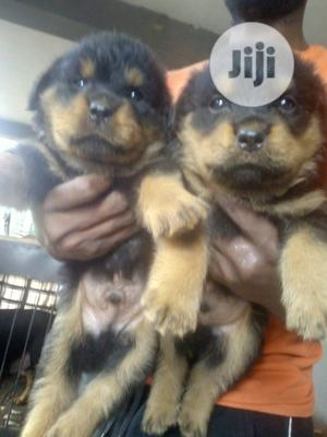Young Female Purebred Rottweiler   Dogs & Puppies for sale in Ogun State, Ijebu Ode