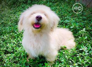 Baby Female Purebred Lhasa Apso   Dogs & Puppies for sale in Lagos State, Lagos Island (Eko)