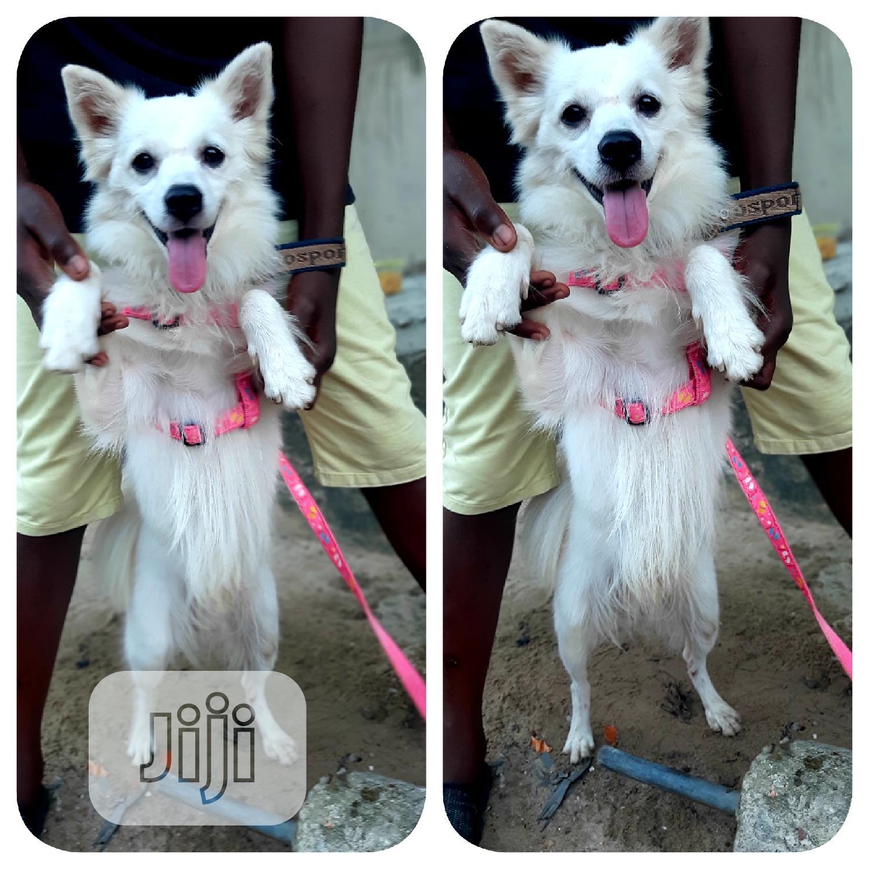 6-12 month Male Purebred American Eskimo | Dogs & Puppies for sale in Ojo, Lagos State, Nigeria
