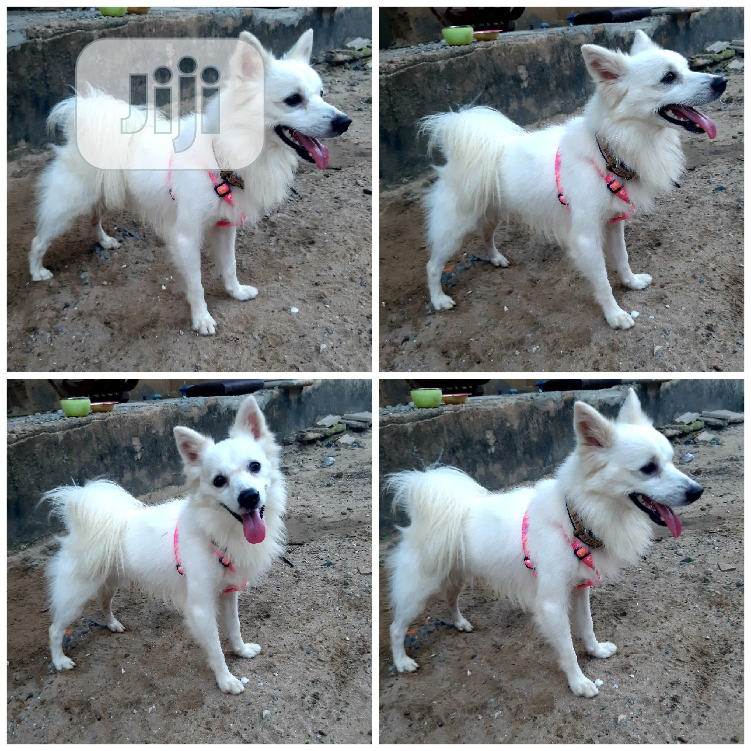 1+ year Male Purebred American Eskimo | Dogs & Puppies for sale in Lekki, Lagos State, Nigeria