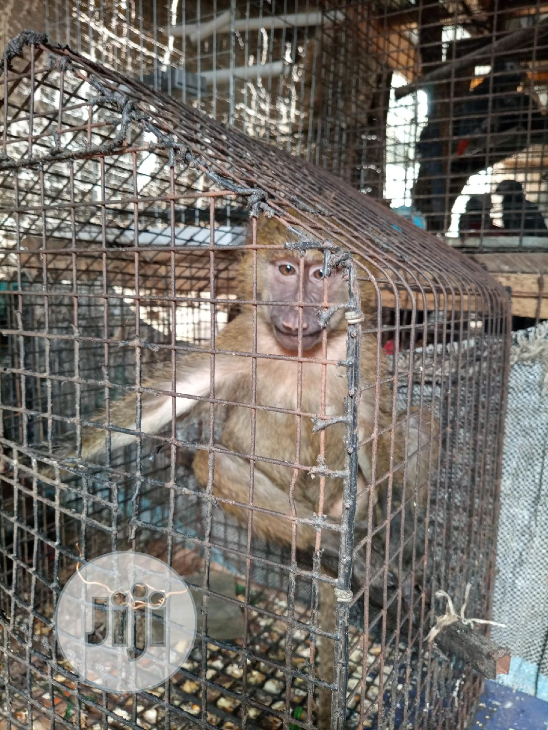 Well Healthy Baboon Is Available For Sale