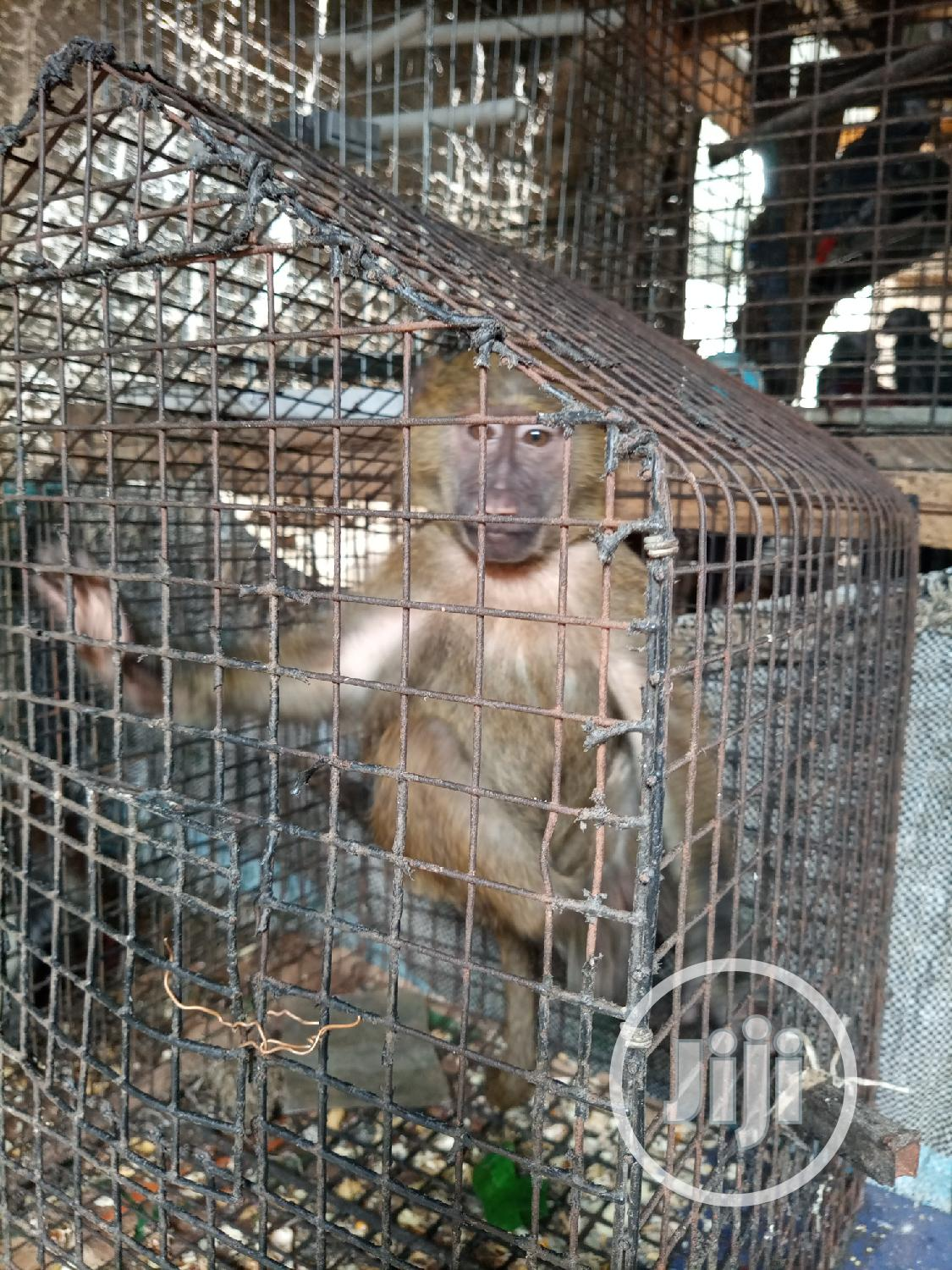 Well Healthy Baboon Is Available For Sale | Other Animals for sale in Ojo, Lagos State, Nigeria