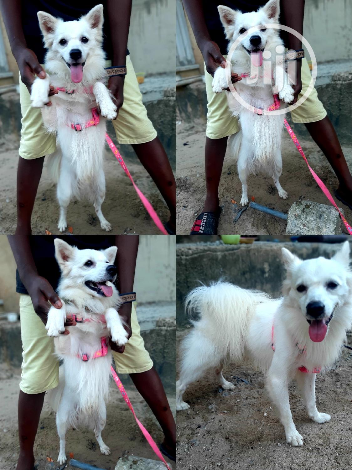 3-6 month Male Purebred American Eskimo | Dogs & Puppies for sale in Yaba, Lagos State, Nigeria
