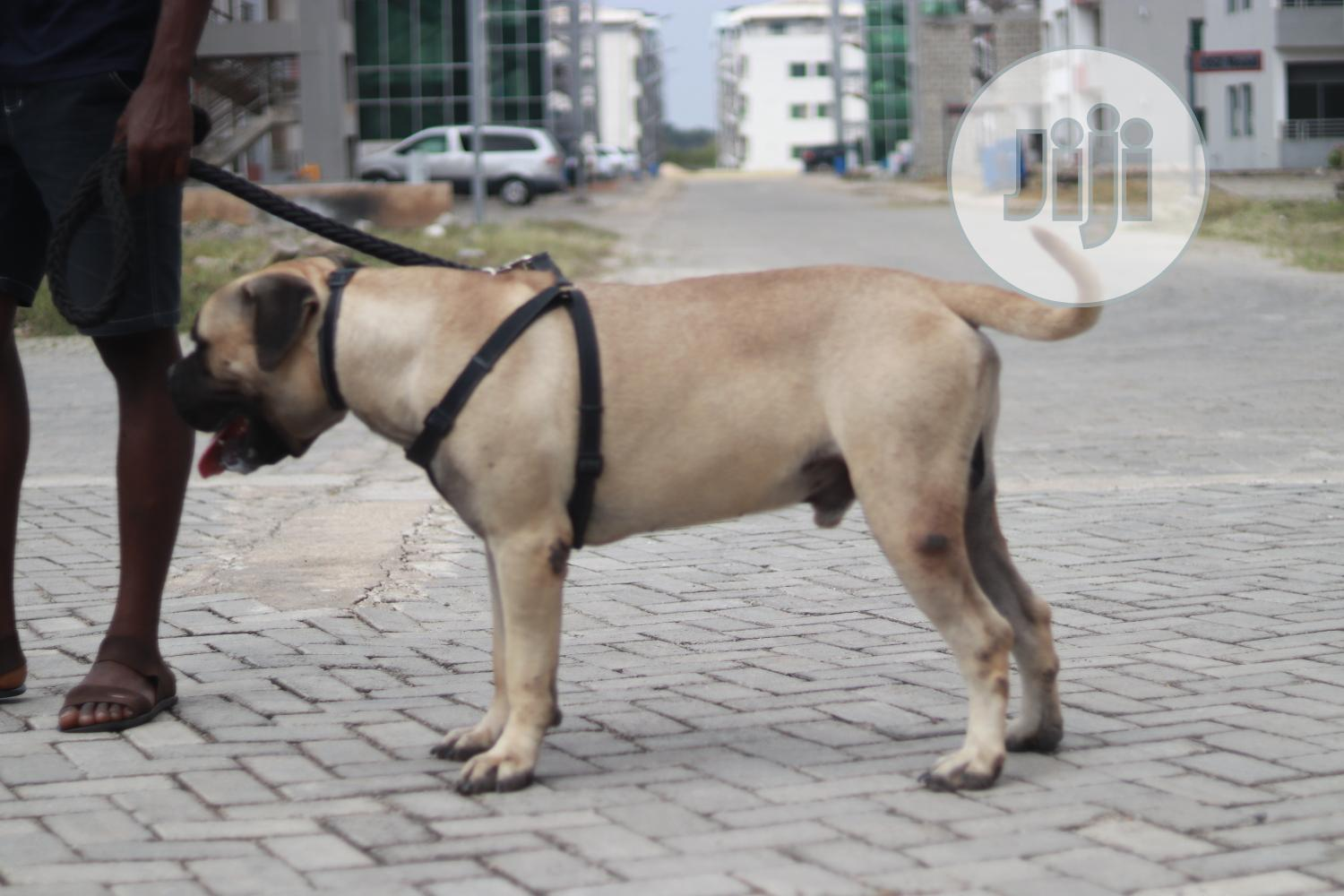 Archive: Young Male Purebred Bullmastiff