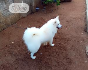 1+ Year Male Purebred American Eskimo | Dogs & Puppies for sale in Lagos State, Ifako-Ijaiye