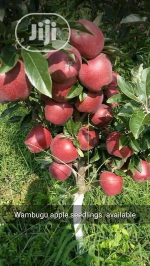 Improved Wambugu Apple Seedlings Available For Sale | Feeds, Supplements & Seeds for sale in Ogun State, Obafemi-Owode