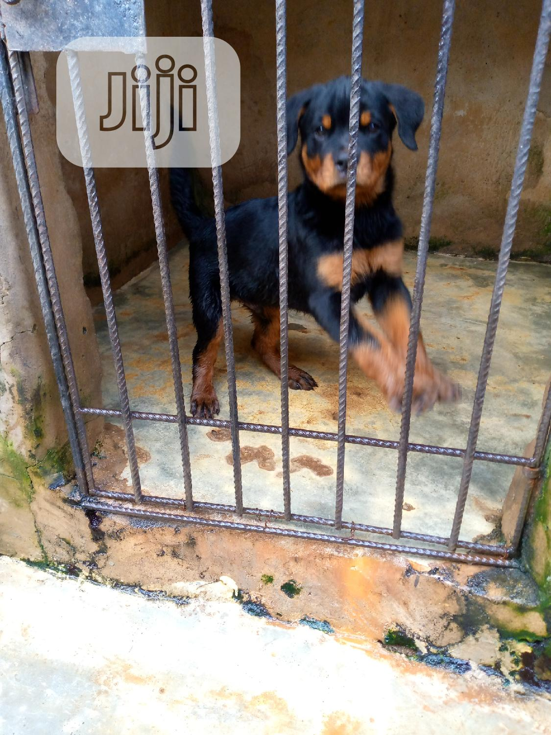 Archive: 3-6 Month Male Purebred Rottweiler