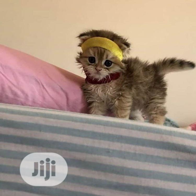 Baby Male Purebred American Wirehair | Cats & Kittens for sale in Auchi, Edo State, Nigeria