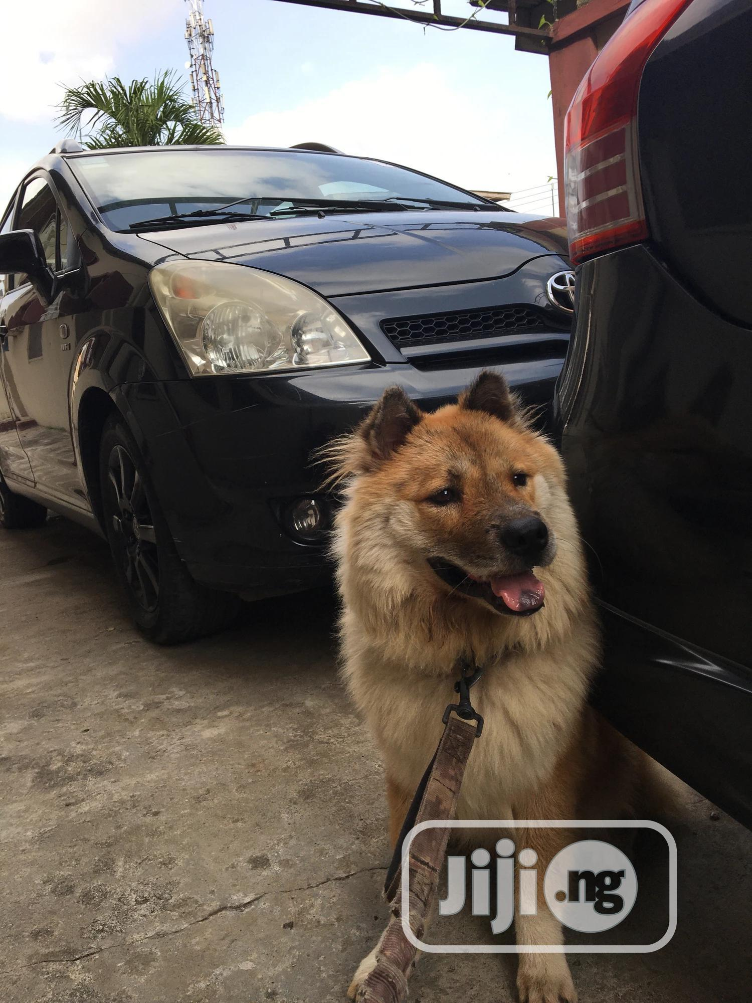 Young Male Mixed Breed Chow Chow