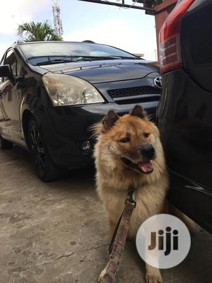 1+ year Male Mixed Breed Chow Chow | Dogs & Puppies for sale in Lagos State, Surulere