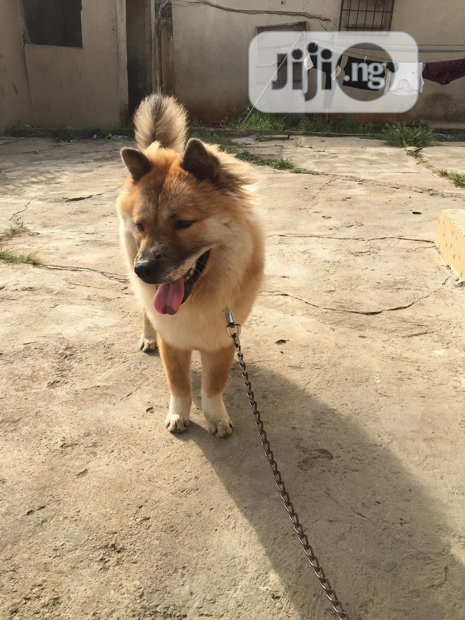 Young Male Mixed Breed Chow Chow | Dogs & Puppies for sale in Surulere, Lagos State, Nigeria