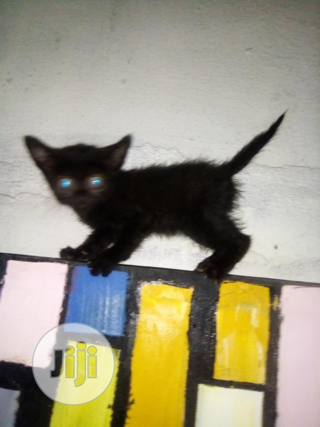 Baby Male Mixed Breed American Shorthair