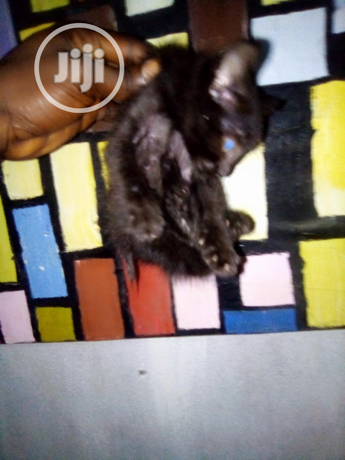 Baby Male Mixed Breed American Shorthair   Cats & Kittens for sale in Zuba, Abuja (FCT) State, Nigeria