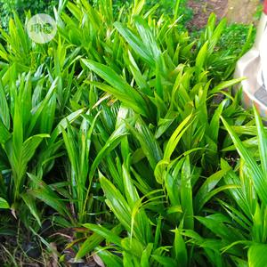 Hybrid Tenera Palm Seedling | Feeds, Supplements & Seeds for sale in Edo State, Benin City