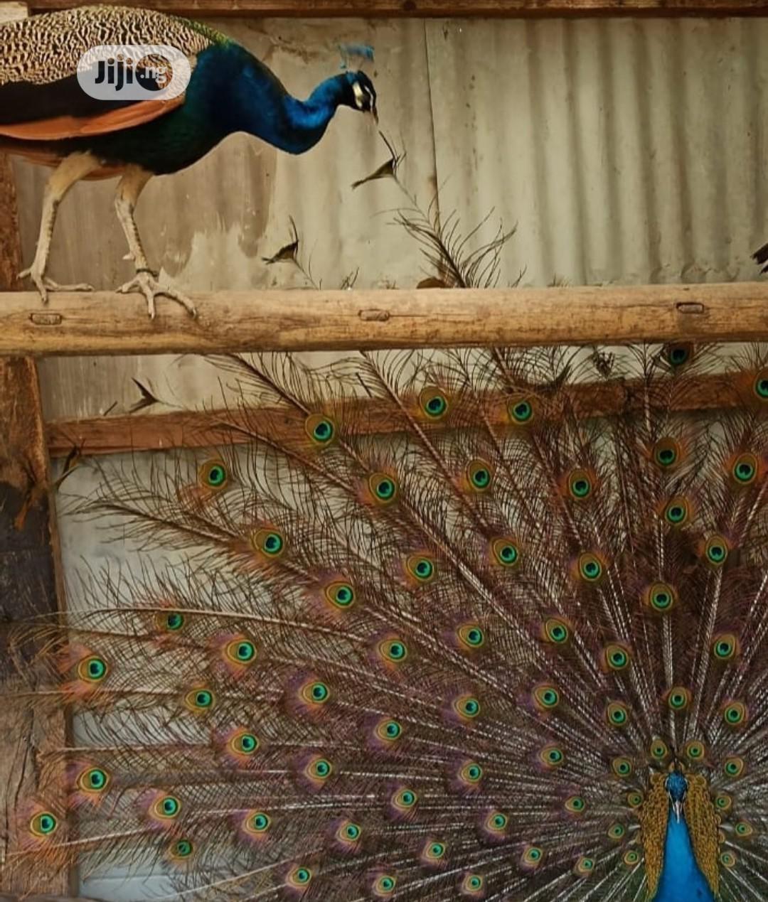 Archive: Peacock Bird