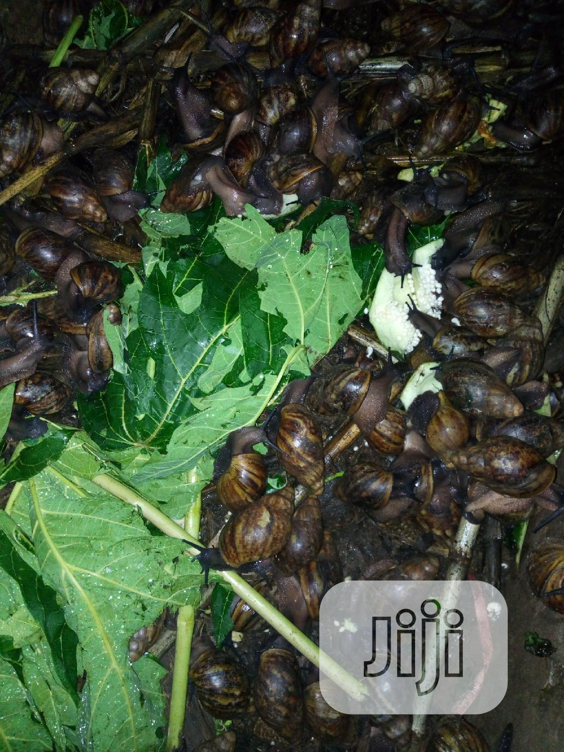 Archive: Growers Snails For Sale