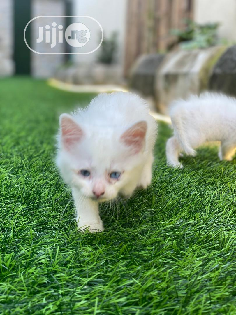 Archive: Young Male Purebred Turkish Van