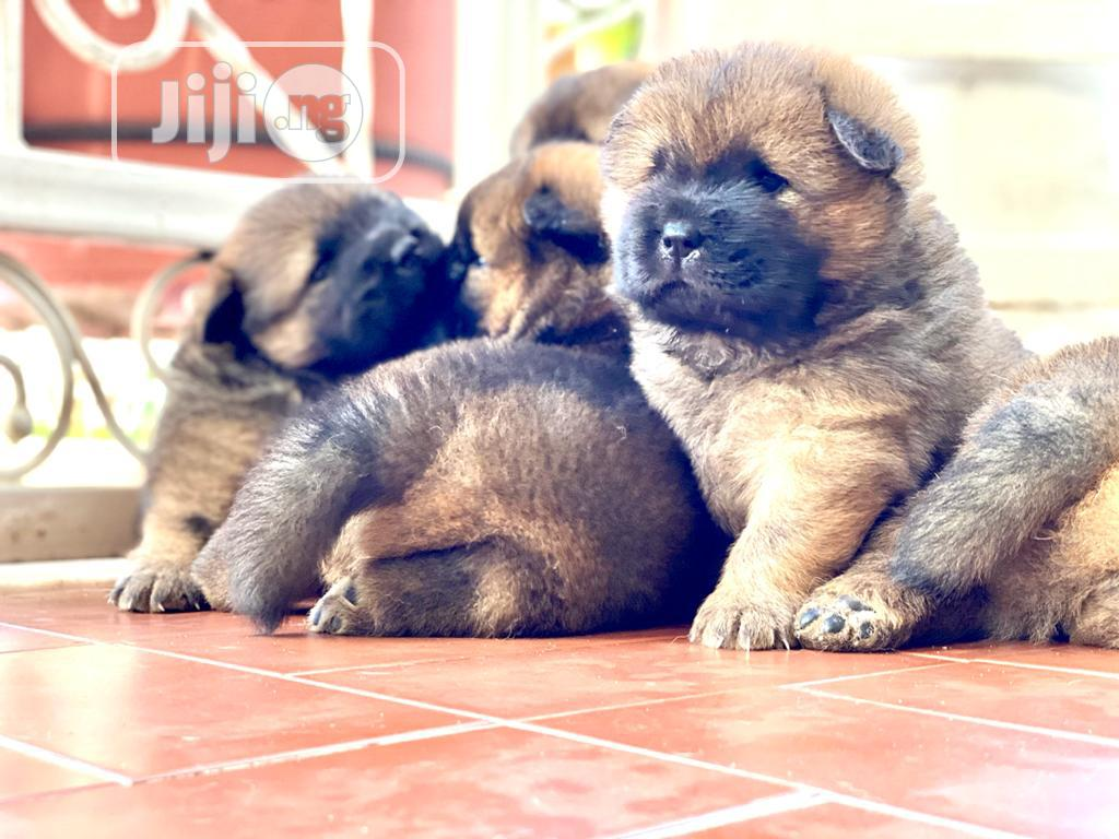 Baby Female Purebred Chow Chow | Dogs & Puppies for sale in Ajah, Lagos State, Nigeria